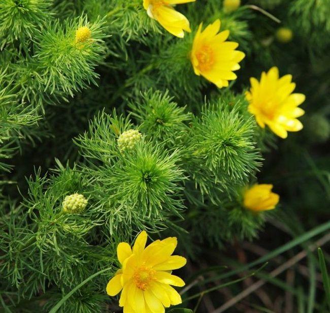 Очень полезный цветок