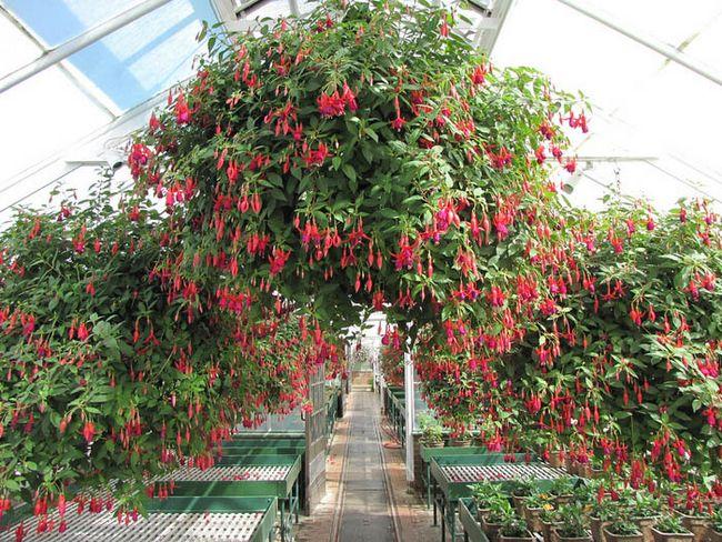 Комнатный цветок его выращивание 162