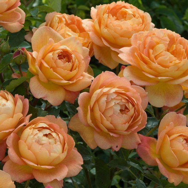 Роза английская тизинг джорджия