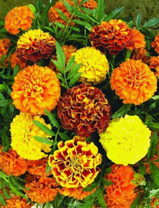 Бархатцы цветы в домашних условиях