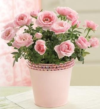 Розы в горшках фото