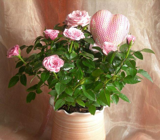 Можно ли пересаживать розы