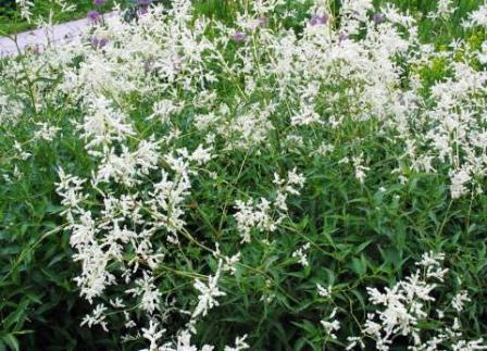 Альпийский горец (Polygonum alpinum) - широко распространенный сорняк, используют в букетах