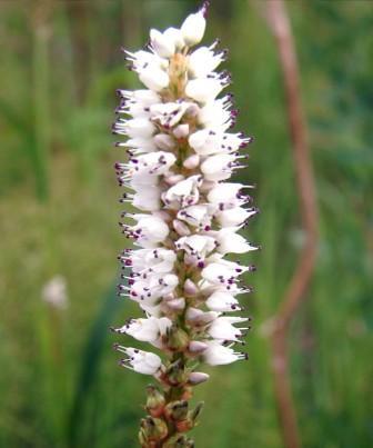 Горец живородящий - может размножаться луковичкам, которые образуются вместо цветочков