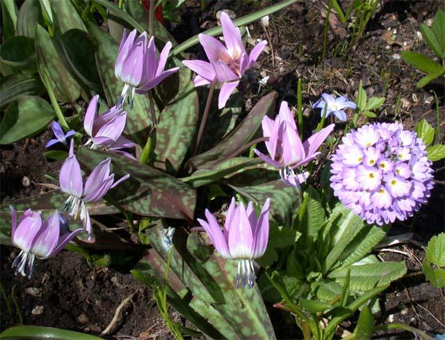Зеленый Эдем - декоративные цветы, питомник декоративных