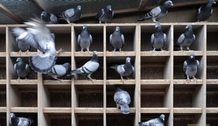 Внутреннее обустройство голубятни очень важно для птиц