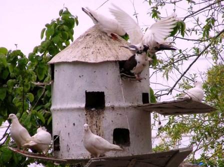 Всегда есть возможность построить простейшую голубятню без излишеств