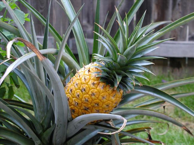 Цветы ананас