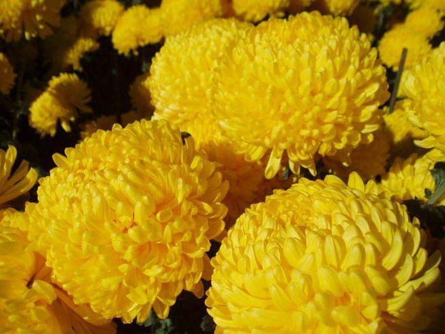 вредители хризантем