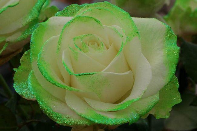 Зеленоватые розы фото
