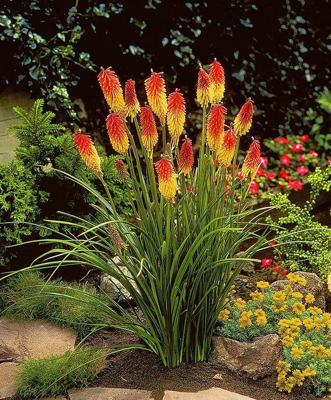 Цветы садовые многолетники каталог