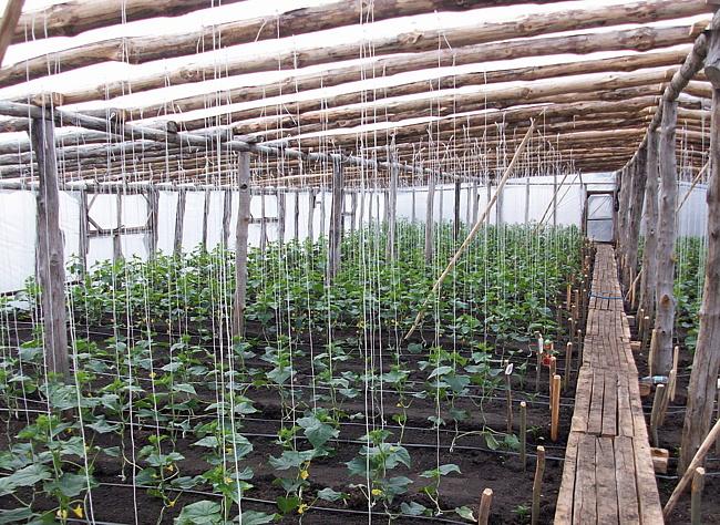 Выращивание огурцов зимой в теплице на 847