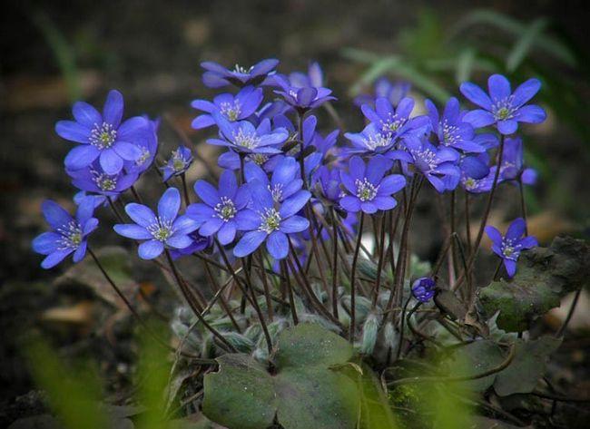 Фото цветов печёночница