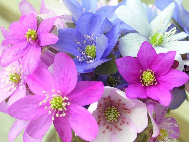 Цветок перелеска