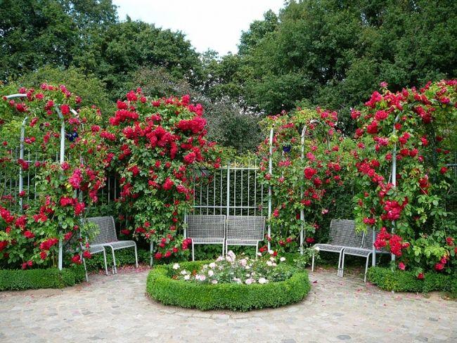 Какой сорт розы посадить