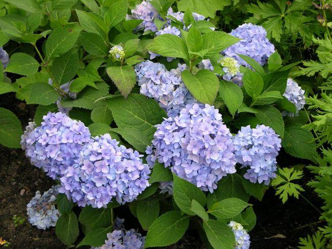 Как изменить цвет гортензии садовой