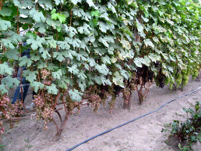 Для винограда опора своими руками из арматуры
