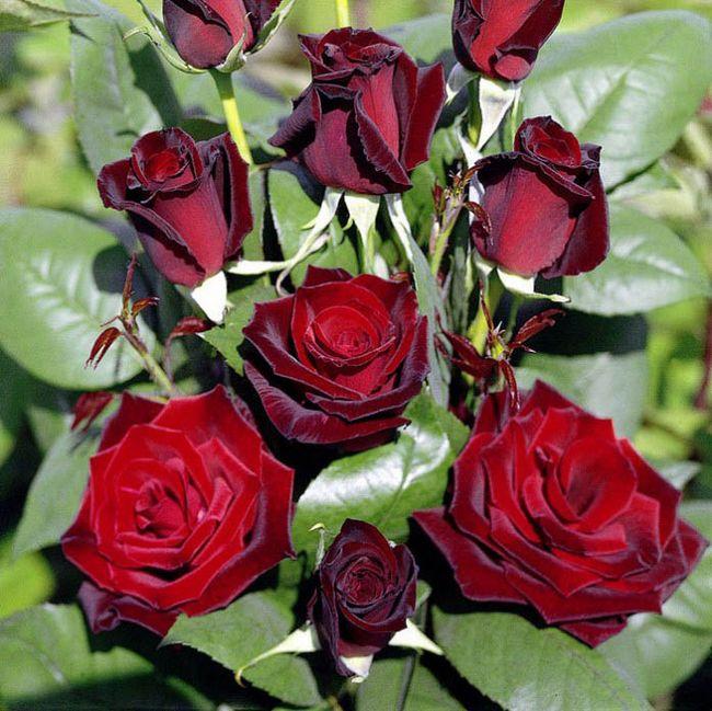Самая красивая роза отзывы