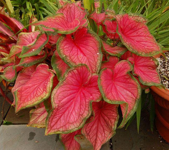 Комнатные цветы с декоративной листвой фото