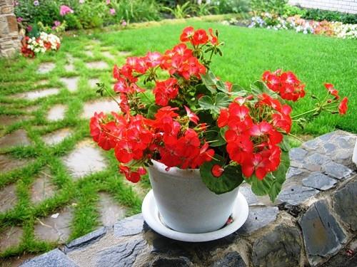 герань гибридная розанна посадка и уход