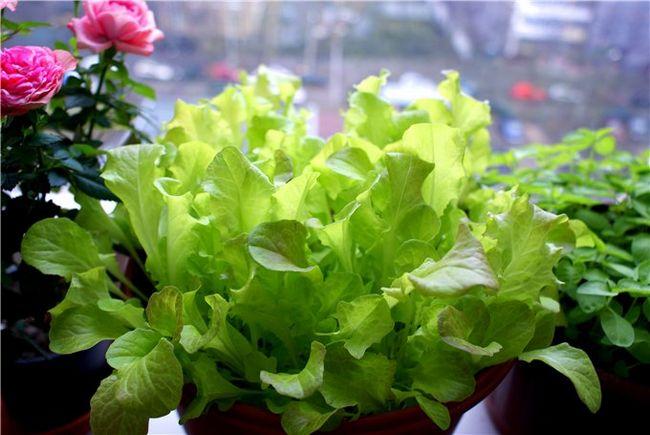 Как ухаживать за салатом в горшке
